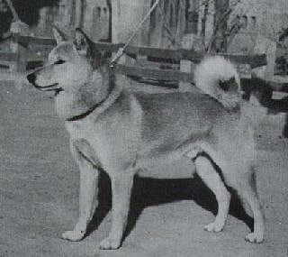 Типы и разнотипы - Страница 7 Old%20shiba%20dog